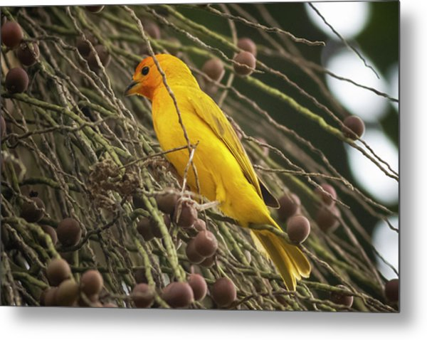Orange Fronted Yellow Finch Panaca Quimbaya Colombia Metal Print