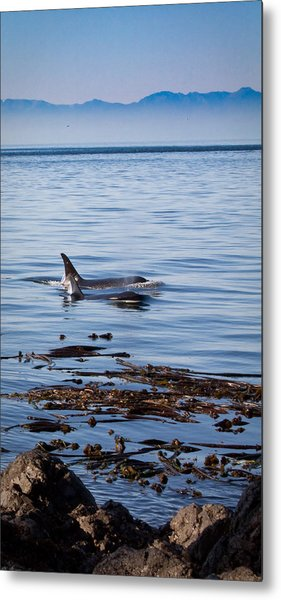 Orca Whales In The San Juan Islands Metal Print by Sandy Buckley