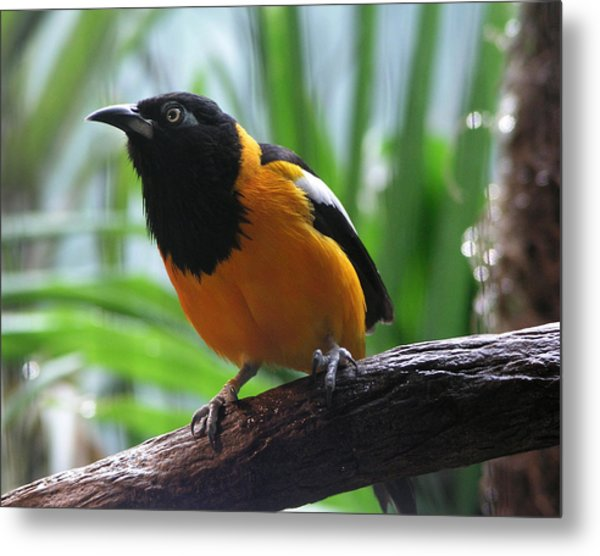 Oriole  Metal Print by Helaine Cummins