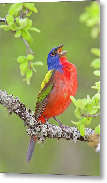Painted Bunting Singing 2 Metal Print