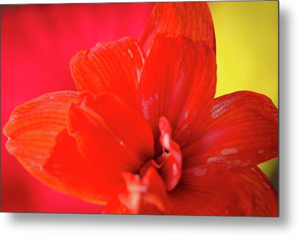 Peach Melba Red Amaryllis Flower On Raspberry Ripple Pink And Yellow Background Metal Print by Andy Smy