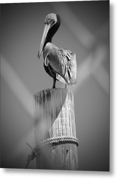 Pelican Perched Metal Print by Megan Verzoni