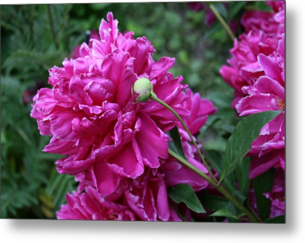 Peony Protege Metal Print by Alan Rutherford