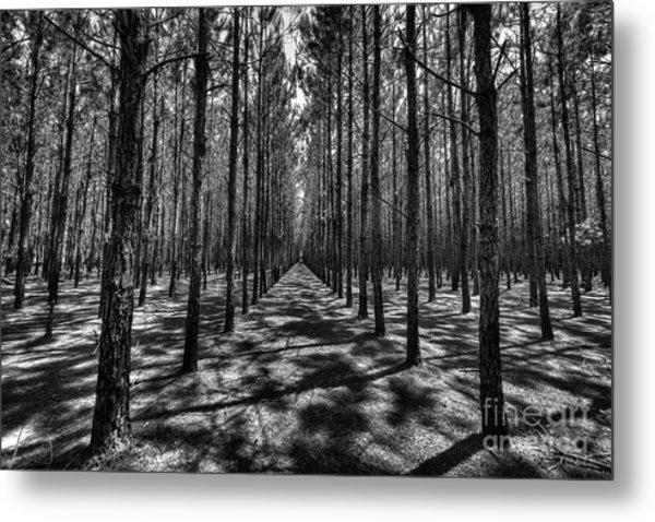 Pine Plantation Wide Metal Print