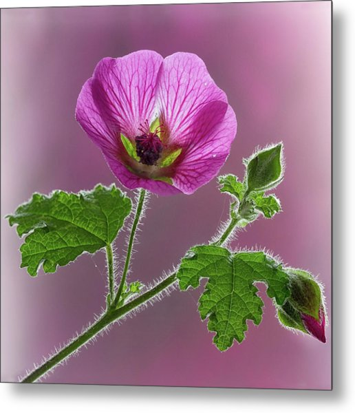 Pink Mallow Flower Metal Print