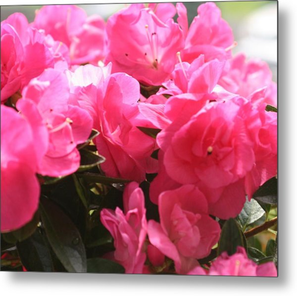 Pink Passion Metal Print by Amy Holmes