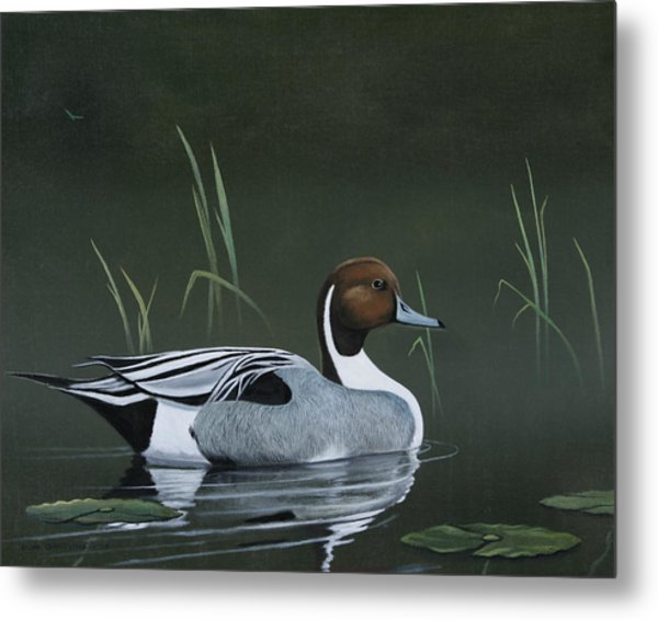 Pintail Portrait Metal Print by Don Griffiths