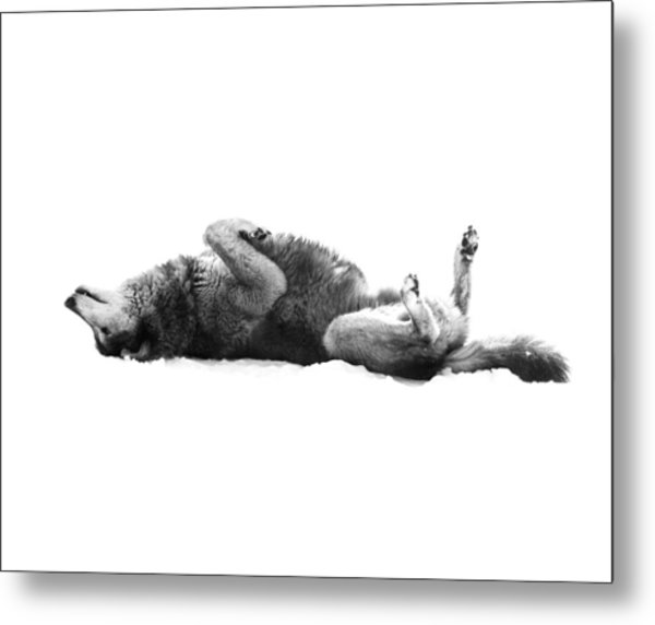 Playful Gray Wolf Photo Metal Print