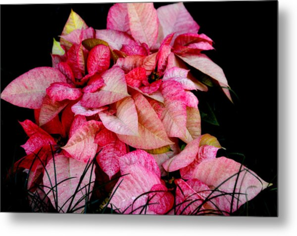 Poinsettia Metal Print by Lyle  Huisken
