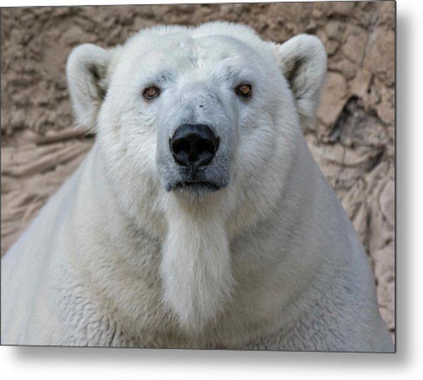 Polar Bear Portrait  Metal Print