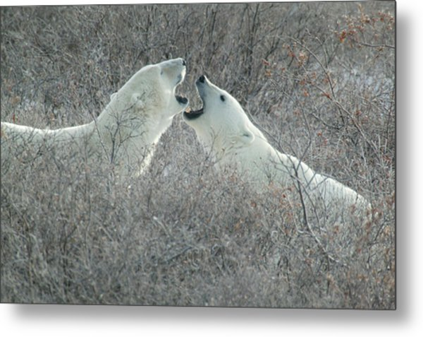 Polar Bears Jawing Metal Print
