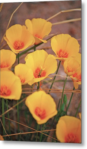 Poppies On Mount Lemmon Metal Print