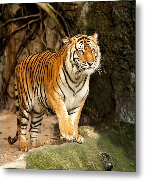 Portrait Of A Royal Bengal Tiger Metal Print