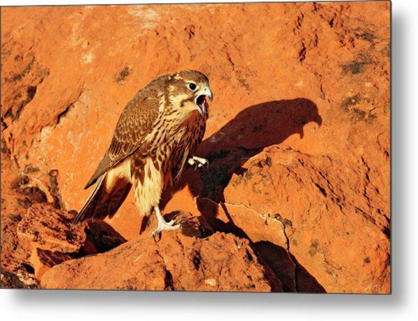 Prarie Falcon Metal Print by Dennis Hammer
