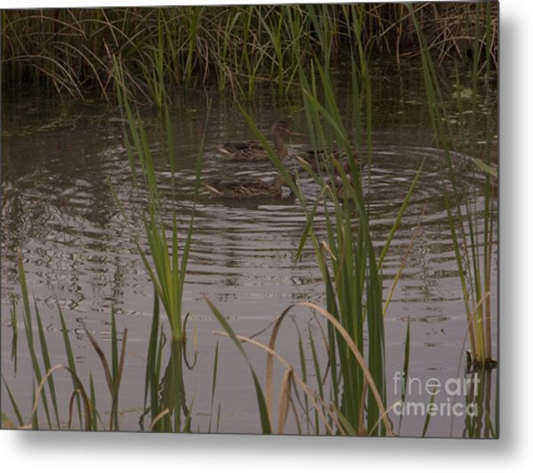 Private Duck Swimming Hole 1 Metal Print
