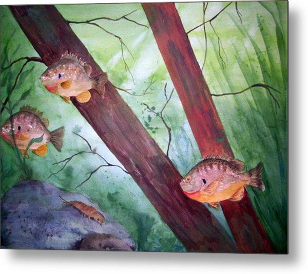 Pumpkinseed Sunfish Metal Print