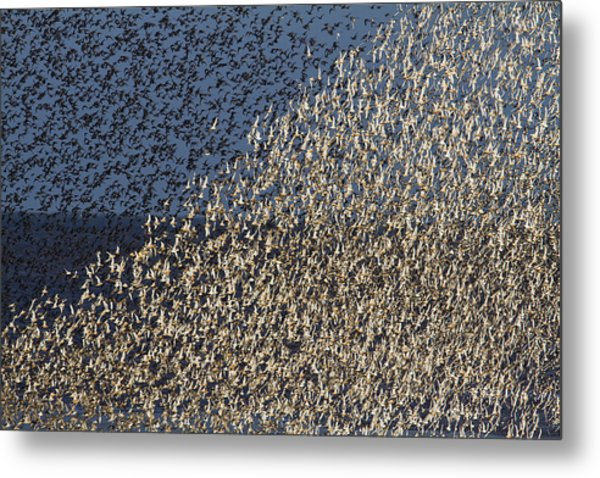 Red Knot At High Tide Metal Print