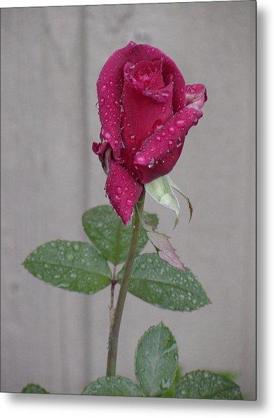 Red Rose In Rain Metal Print