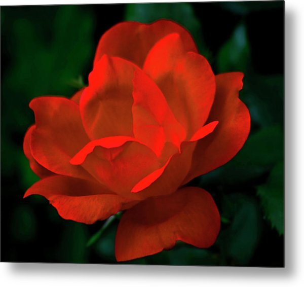Red Rose In Sunlight Metal Print