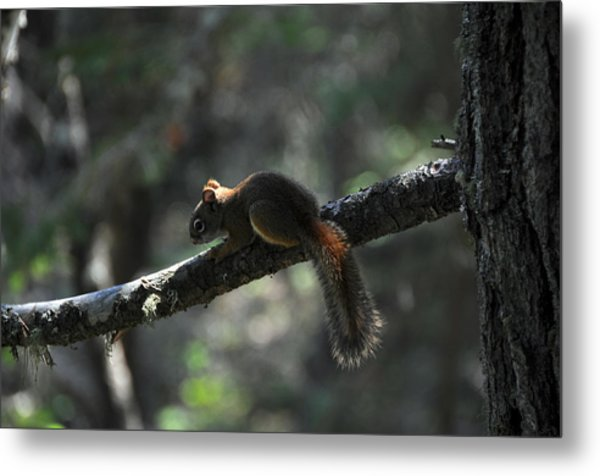Red Squirrel Metal Print by John Ricker