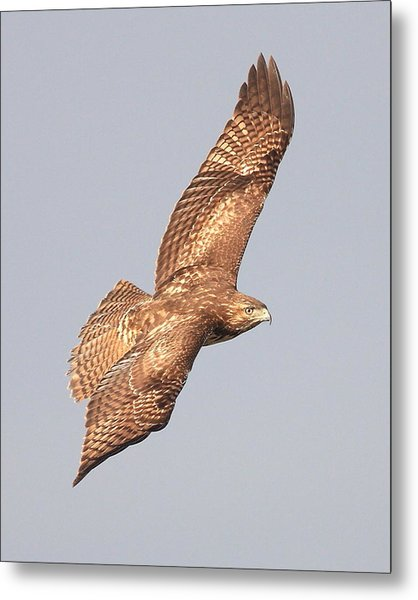 Red Tailed Hawk 20100101-4 Metal Print by Wingsdomain Art and Photography