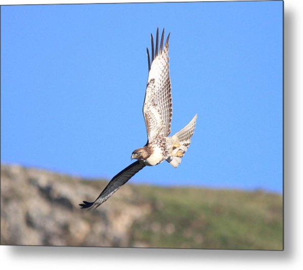 Red Tailed Hawk 20100101-6 Metal Print by Wingsdomain Art and Photography