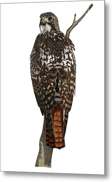 Red-tailed Hawk - Color Metal Print
