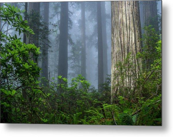 Redwoods In Blue Fog Metal Print