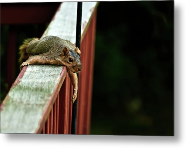 Resting Squirrel Metal Print
