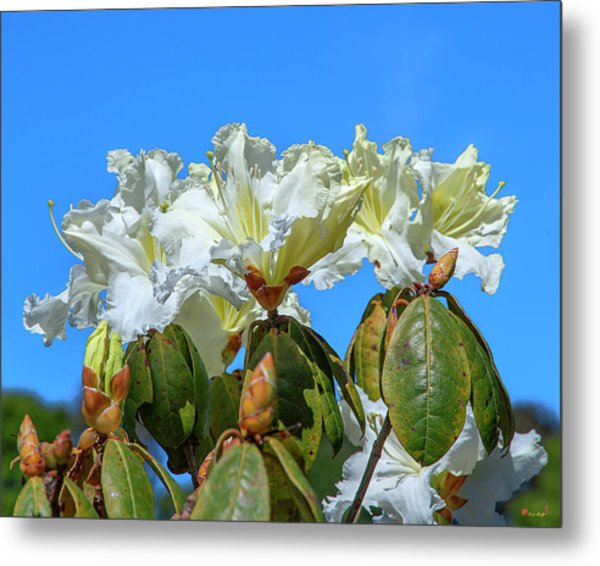 Rhododendron Ciliicalyx Dthn0213 Metal Print