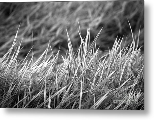 Rice Field Japan Metal Print by Arni Katz