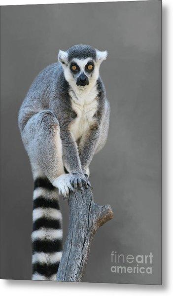 Ring-tailed Lemur #6 V2 Metal Print