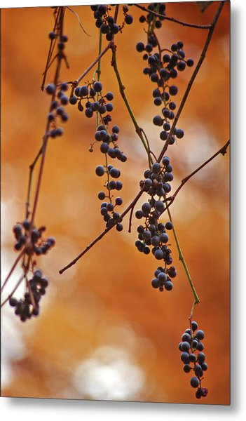 Ripe Wild Grapes  Metal Print