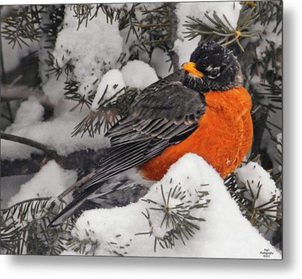Robin In March Snowstorm In Michigan Metal Print