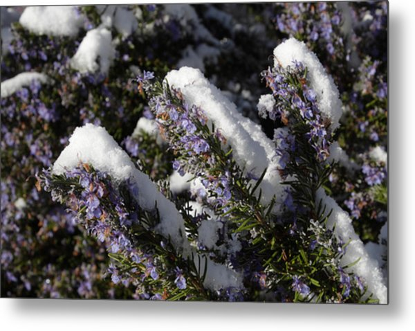 Rosemary Snow Eclairs Metal Print