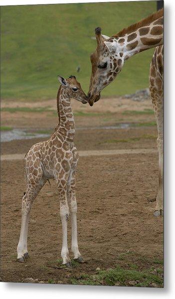 Rothschild Giraffe Giraffa Metal Print