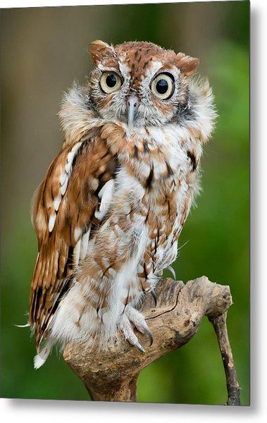 Screech Owl Metal Print