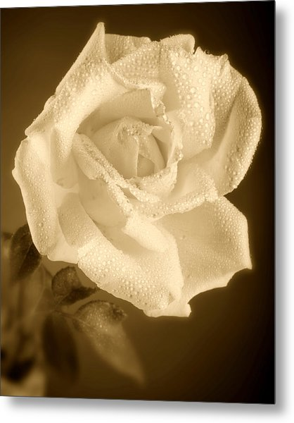 Sepia Rose With Rain Drops Metal Print