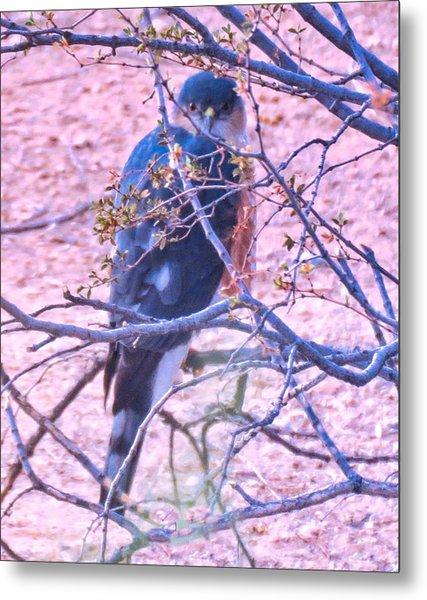 Sharp-shinned Hawk Hunting In The Desert 2 Metal Print