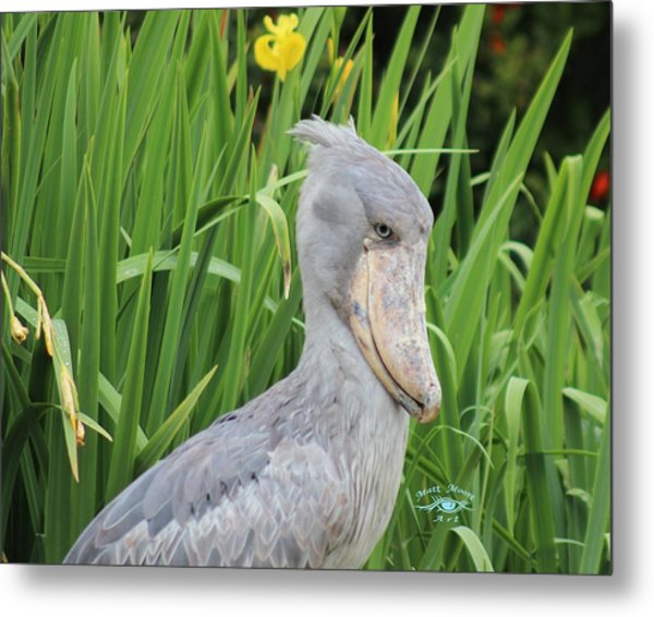 Shoebill II Metal Print by Matthew Moore