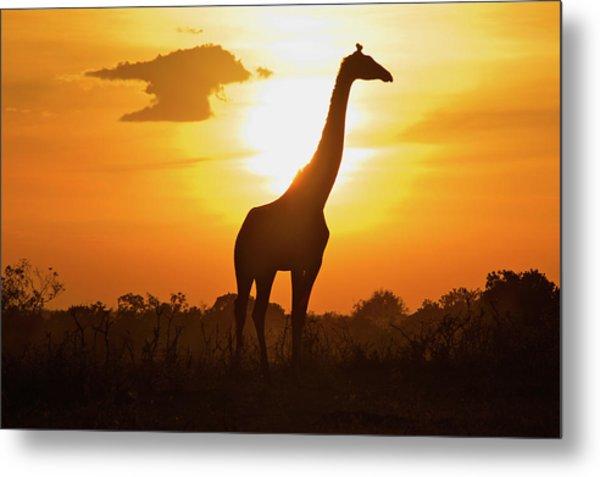 Silhouette Giraffe At Sunset Metal Print