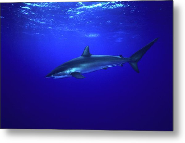 Silky Shark Metal Print