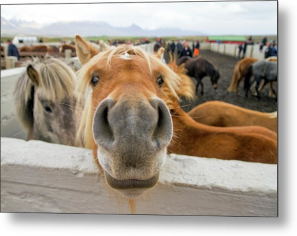 Silly Icelandic Horse Metal Print