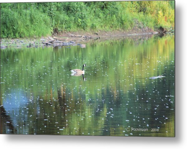 Single Canadian Goose Metal Print by Carolyn Postelwait