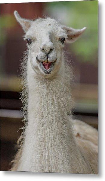 Smiling Alpaca Metal Print