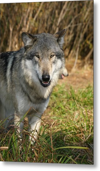 Smiling Wolf Metal Print