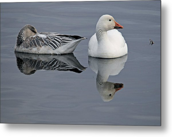 Snow Geese At Bosque Metal Print