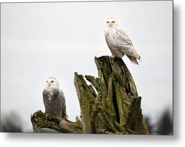 Snow Owls Of Boundary Bay Metal Print by Pierre Leclerc Photography