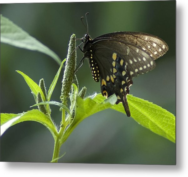 Metal Print featuring the photograph Spicebush Swallowtail IIi by Wade Clark