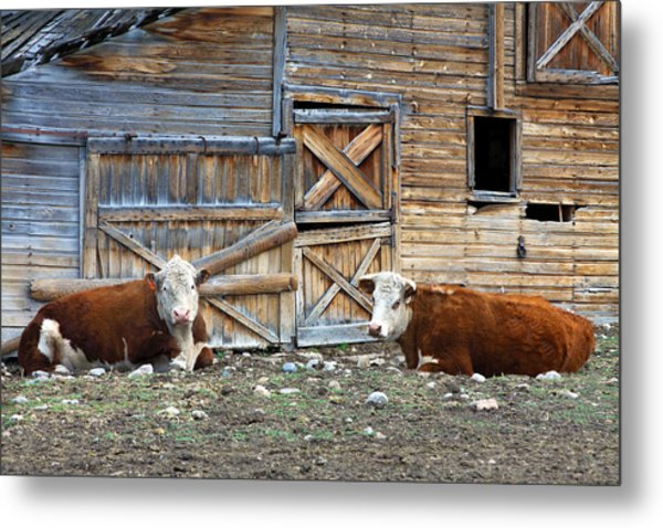 Squires Herefords By The Rustic Barn Metal Print